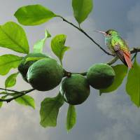 Hummingbird in Lime Tree by I.M. Spadecaller