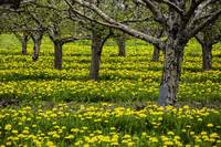 Orchard and Dandelions