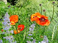 Poppies and Tall Grasses
