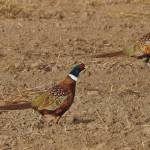 Pheasant Roosters Prints & Posters