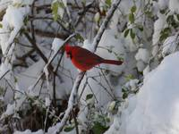 Cardinal in Tree with Snow