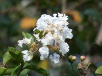 White Crepe Myrtle Flower