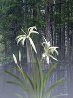 Southern Swamp Lily