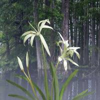 Southern Swamp Lily by I.M. Spadecaller