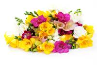 Colourful-Freesia