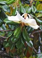 Ballerina Magnolia Grandiflora by Carol Groenen
