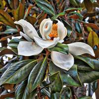 Dramatic Magnolia Grandiflora by Carol Groenen