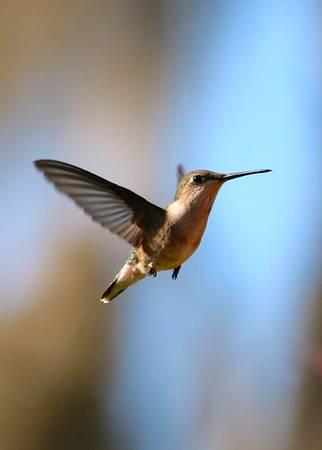 Hummingbird Friend