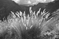 Fountain Grass Monochrome