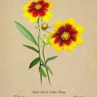 Tickseed Botanical by I.M. Spadecaller