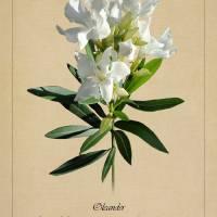 Oleander Botanical by I.M. Spadecaller