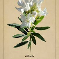 Oleander Botanical by I.M. Spadecaller