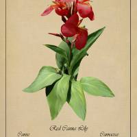 Red Canna Lily Botanical by I.M. Spadecaller