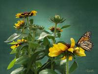 Rudbeckia And Monarch