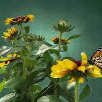 Rudbeckia And Monarch by I.M. Spadecaller