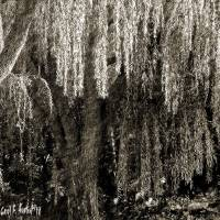 Graceful Weeping Willow Tree Wall Art Art Prints & Posters by Carol F Austin