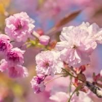 Spring Blossom Art Prints & Posters by Natalie Kinnear