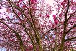 "Spring Trees Pink Delight by James ""BO"" Insogna"