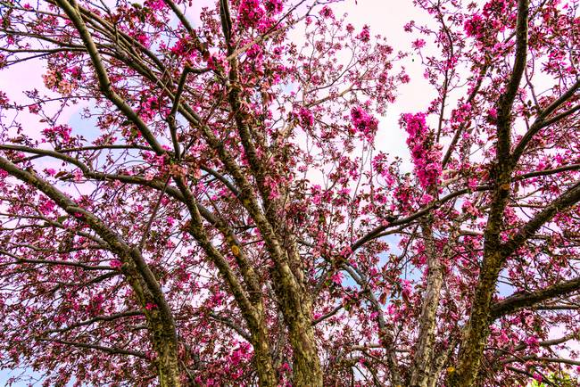 Spring Trees Pink Delight