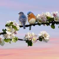 Bluebirds in Apple Tree by I.M. Spadecaller