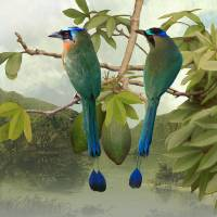 BlueCrownedMotmotsKapokTree-IMG by I.M. Spadecaller