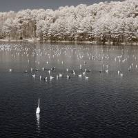 Seagulls In An IR Lake Art Prints & Posters by LD Franklin