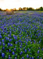 Sunset Over Haybales in Bluebonnets