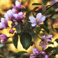 Pink Crab Tree Flowers Art Prints & Posters by Lisa Rich