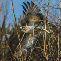 REDTAIL HAWK Art Prints & Posters by David Combs