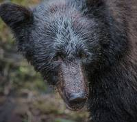 Black Bear Portrait