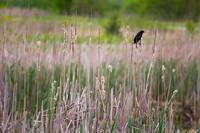 Red-winged Blackbird, Ohio