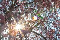Sunlight through Weeping Cherry Tree Flowers