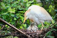 Cattle Egret with nestlings