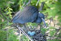 Heron Eggs in the Nest