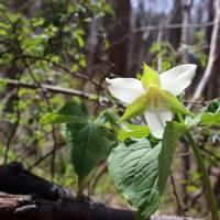Wild Beauty Trillium  by Karen Adams
