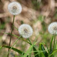 Three Dandelions  by Karen Adams