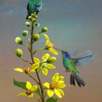 Hummingbirds-ThryallisIMG by I.M. Spadecaller
