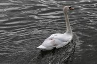 Metz Swan Paddling Away