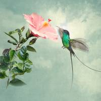 Longtail Hummingbird and Hibiscus Flower by I.M. Spadecaller