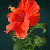 Red Darling Hibiscus by I.M. Spadecaller