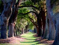 Grand Row of Live Oak Trees
