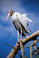 Young Woodstork