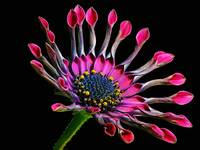 Bold Modern Image Pink African Daisy Against Black