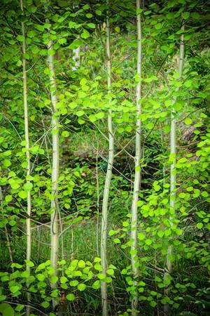 Young Aspen Forest Portrait