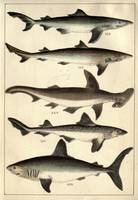Vintage Illustration of Various Sharks