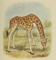 Vintage Giraffe Illustration (1903)