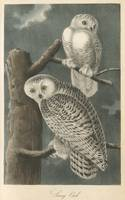 Vintage Illustration of Snowy Owls (1840)