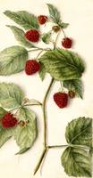 Vintage Raspberry Illustration