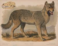 Vintage Illustration of a Gray Wolf (1874)