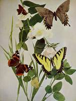 Vintage Butterflies in Nature Illustration (1899)